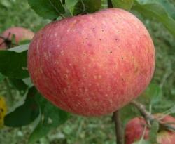Alexander Fruit