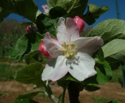 American Summer Pearmain Bloom