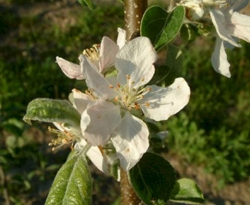 Ashmead's Kernel Bloom