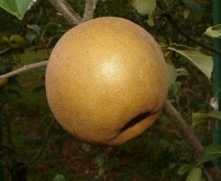 Ashmead's Kernel Fruit
