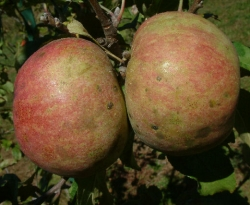 Bald Mountain Fruit