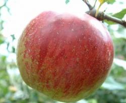 Ben Davis Fruit