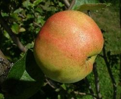 Benham Fruit