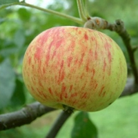 Bevans Favorite Fruit