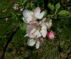 Blenheim Orange Bloom