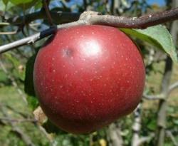 Blenheim Orange Fruit