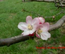 Bramleys Seedling Bloom