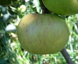 Bramleys Seedling Fruit