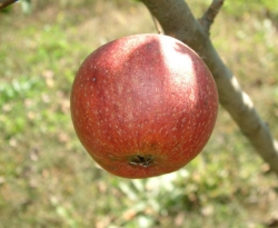 Browns Apple Fruit