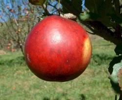 Buff Fruit