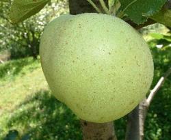 Bunkum Fruit