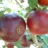 Burgundy Fruit
