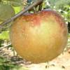 Cornish Gilliflower Fruit