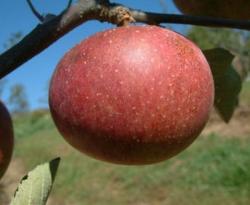 Dabinett Fruit