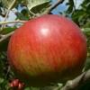 Duchess of Oldenburg Fruit