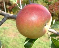 Dunkerton Late Sweet Fruit