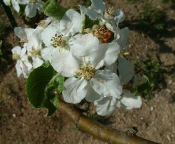 Esopus Spitzenburg Bloom