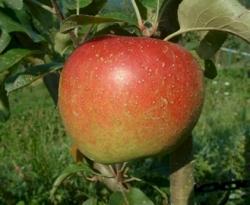 Esopus Spitzenburg Fruit