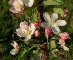 Golden Delicious Bloom