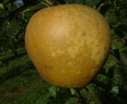 Golden Delicious Fruit