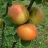 Golden Pearmain Fruit