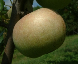 Golden Reinette Fruit