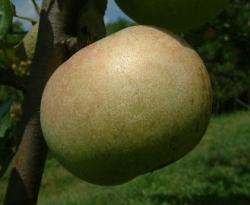 Golden Reinette Fruit