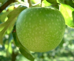 Granny Smith Fruit