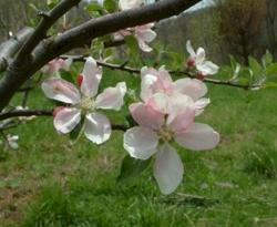 Black Limbertwig Bloom