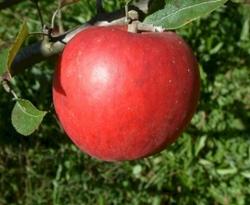 Black Limbertwig Fruit