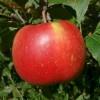 Caney Fork Limbertwig Fruit