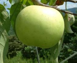 Green Pippin Fruit