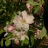 Grimes Golden Bloom