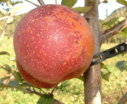 Guyandotte Pippin Fruit