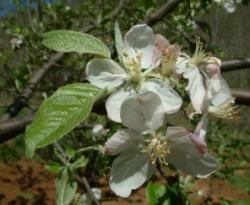 Higdon Bloom