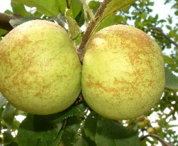 Horse Fruit