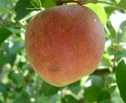 King David Fruit