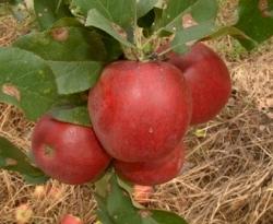 Lugar Red Fruit