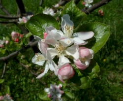 Mattamuskeet Bloom