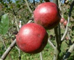 Mattamuskeet Fruit