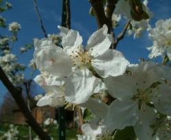 May Bloom