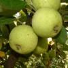 Michelin Fruit