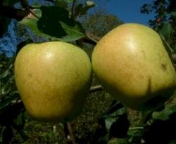 Mountain Boomer Fruit