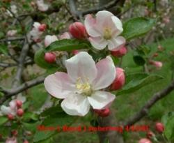 Myers' Royal Limbertwig Bloom