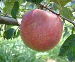 Myers' Royal Limbertwig Fruit