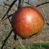 Old Fashioned Limbertwig Fruit