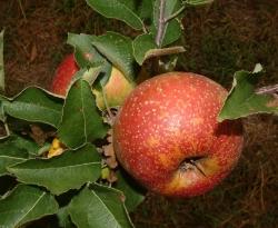 Oliver Fruit