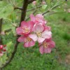 Pink Pearl Bloom