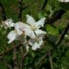Pitmaston Pineapple Bloom