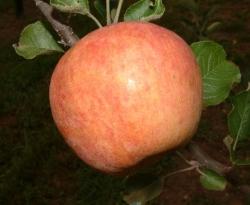 Priestly Fruit